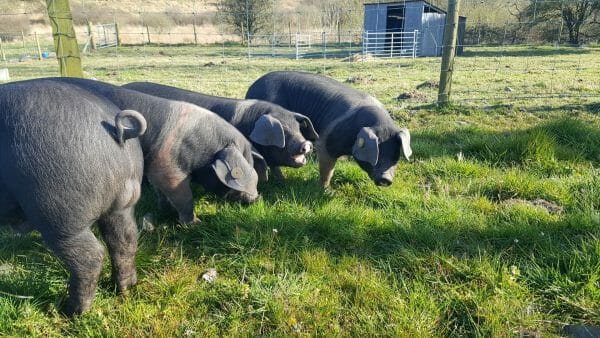 Pigs on the Banceithin smallholding