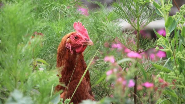 Free range chicken on smallholding