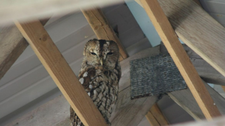 Birds in West Wales - Resident Tawny Owl